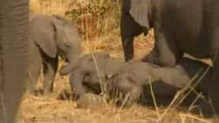 Bold elephant calf