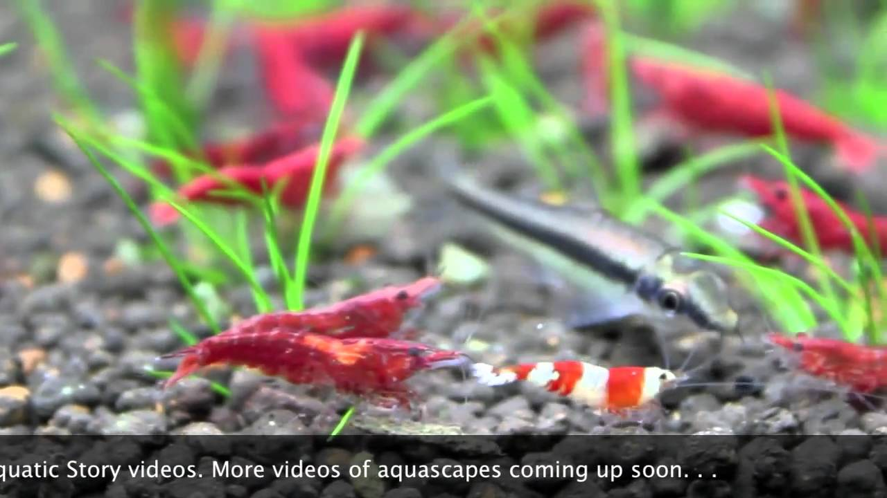 Shrimp Species For Aquariums Freshwater Shrimp Aquarium