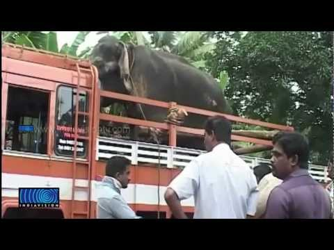 Elephant Injured On The Way To Kottayam In Vehicle