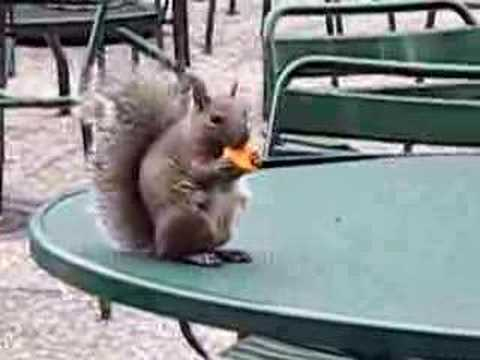 Possessed squirrel eating cheese cracker. update, 09/08 What amuses me here is the fact that so many people are getting angry and this video's title/caption....