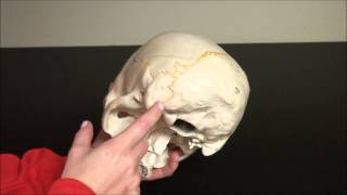 Axial Skeleton - SKULL - CRANIAL BONES