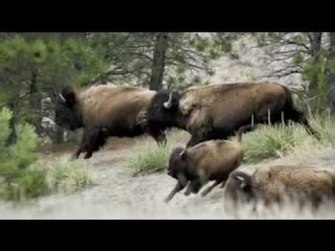 Ivano Fossati - La Caccia La Bisonte