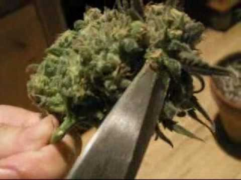 medical marijuana grow! Blue Dream Harvest Video