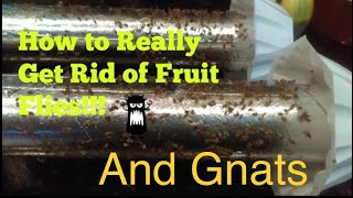 How to Really Get Rid of Fruit Flies and Gnats Really!! (Infestation)