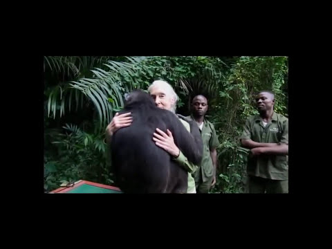 Abrazo de la chimpancé Wounda a su cuidadora durante su liberación en el Congo    HD
