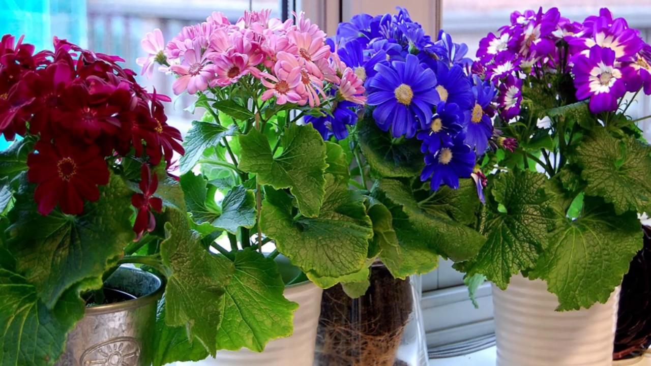 Комнатные цветы цинерария выращивание и уход фото 45