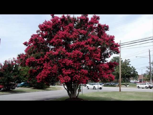 Crape Myrtle Tree - HD