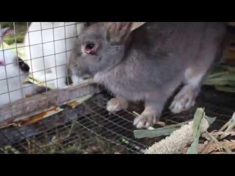 МИКСОМАТОЗ КРОЛИКОВ / Результат лечения максиматоза кролика
