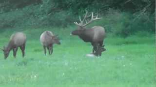 Big rutting Nooksack bull elk chasing off satellite bull - September 2012