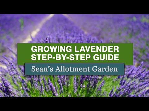 Growing #Lavender (Complete Step-by-Step Guide)