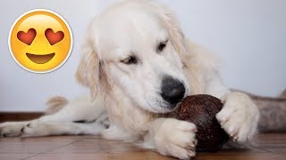 My Funny Dog Plays with Coconut - Golden Retriever Tries Coconut for the First Time