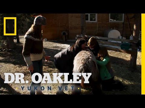 Alpaca Punch   Dr. Oakley, Yukon Vet
