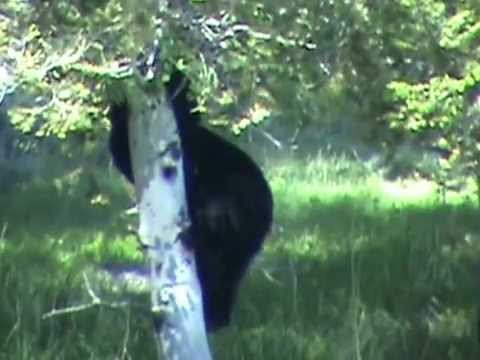 Black Bear and Cub Yellowstone Picnic