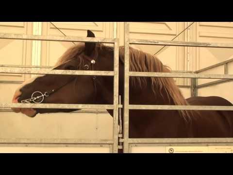 Gražuoliai žirgai ristūnai Nemuno saloje