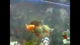 PIRANHAS EATS HUGE GOLD FISh