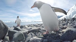 Cheeky Penguin Tries To Steal Camera