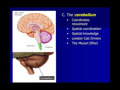 Subcortical Structures Functions Subcortical Structures