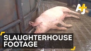 Undercover Video Reveals Horrifying Animal Abuse At Hormel