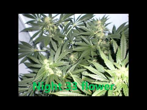 White Widow Grow.wmv