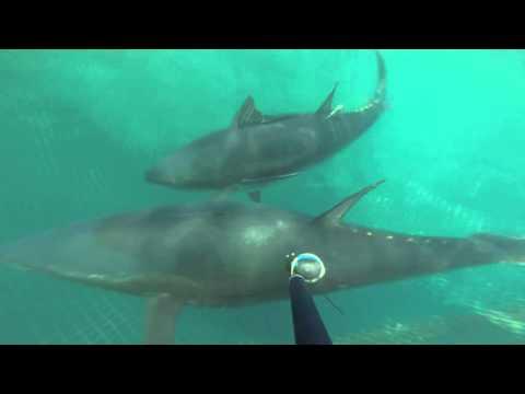 Marcado electrónico de atún rojo en la almadraba de Larache (ICCAT)