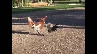 Rooster and a turkey arguing!