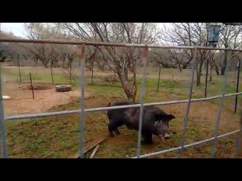 Wild Boar Capture  in Corral Trap