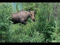 Watch Denali National Park-Alaska (Grizzly Bear, Moose, Caribou, Dall Sheep, Mt. McKinley Summit) Video