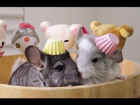 baby chinchilla birthday party youtube