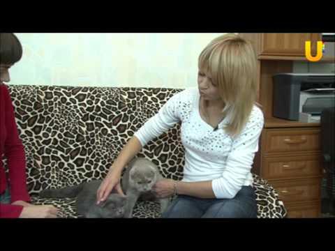 Глазами животных, выпуск 29. Шотландские вислоухие кошки.