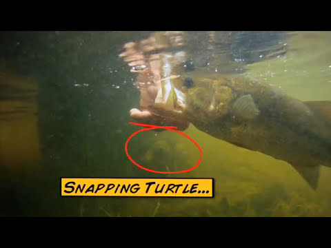 Largemouth Bass Fishing From The Bank & A Snapping Turtle  -  Facts of Fishing THE SHOW