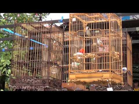 Vòng Chung Kết Hội Thi Tiếng Hót Chim Chào Mào Huế Mở Rộng Lần Thứ 2 video