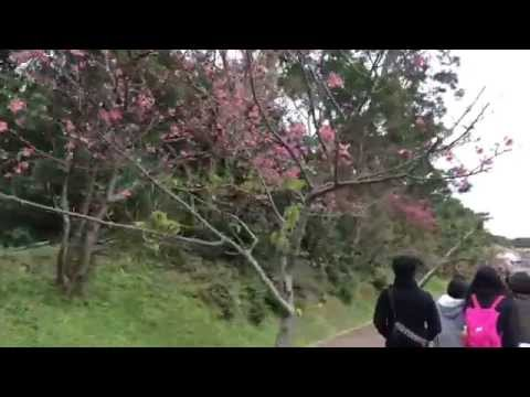 Cherry Blossom Viewing in Okinawa
