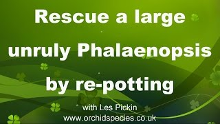 Rescue and re-invigorate a large unruly Phalaenopsis orchid