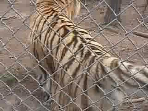 Tiger Attack Video