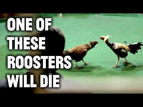 Inside the Ancient and Brutal Sport of Cock Fighting