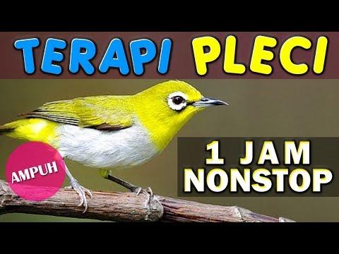 1 JAM NONSTOP - TERAPI PLECI OMBYOKAN - AMPUH LANGSUNG GACOR