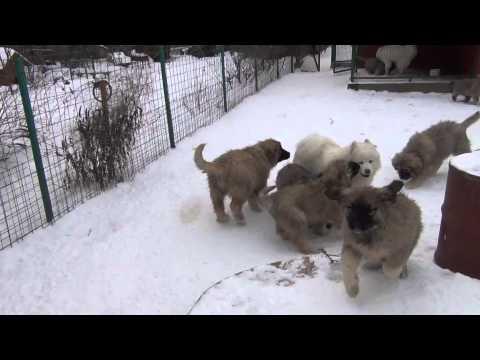 Caucasian Shepherd puppies for sale. Kennel Sormovskaya Zarya.