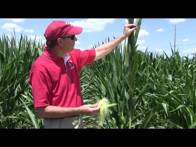 Corn Pollination: How to determine success under stress