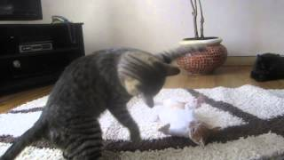 Cat Fight!!  Egyptian cats are tough!