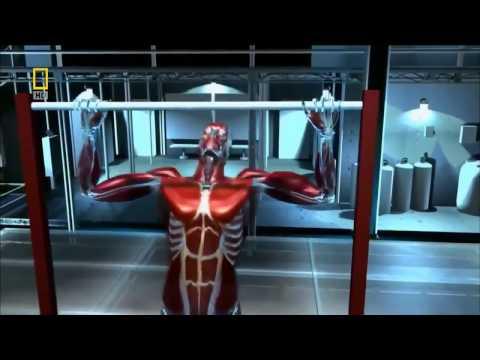 Как растут мышцы   How to grow muscle