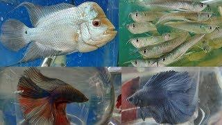 Fighter Fish, Arowana Fish, Flowerhorn & Discus Fish at Naaz Aquarium Fish Store