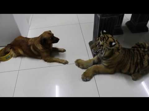 New dog ,silly tiger ,clumsy move , sory