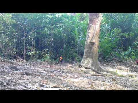 pikat ayam hutan impian