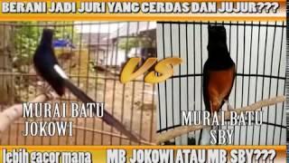 Murai Batu Jokowi VS Murai Batu SBY, Lebih Gacor Mana??? [ nama burung hanya pemanis saja]