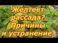 Почему желтеют листья на рассаде и как это исправить. Причины и устранение пожелтения листьев!