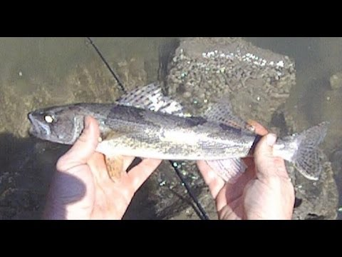 Walleye and sauger fishing video on the ohio river at for Ohio river fish