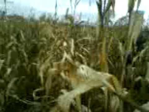 lov na fazan