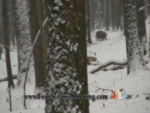 Driven Wild Boar Hunting video