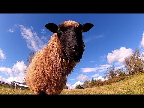 Овцы, такие овцы! \\ В деревню!