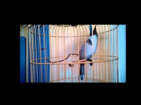 Tiếng Hót Chim Chào Mào Mái Tập Hót Luyện Giọng Cực Hay video